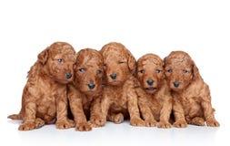 20 dagar grupperar poodlevalpwhite Arkivfoto