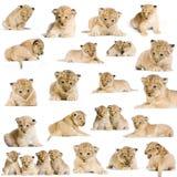 20 de Welpen van de leeuw Stock Foto