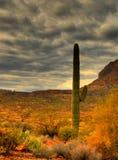 20 kaktusów saguaro Zdjęcia Stock
