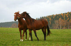 20 konia Zdjęcie Stock