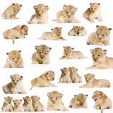 20 Lion Cubs. 20 studio Shots of Lion Cubs in different positions, isolated on a white background. All my pictures are taken in a photo studio Stock Photo