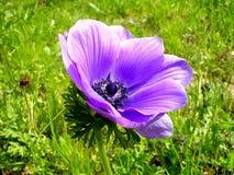 拉马干公园紫罗兰色冠银莲花属2007年 免版税库存照片