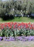 2007 kwiatów Tashkent płacząca wierzba Obrazy Royalty Free