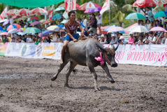 2009 årliga buffelchonburiraces Arkivfoton