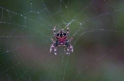 2010-01-002-Spider em um Web da manhã Imagens de Stock Royalty Free