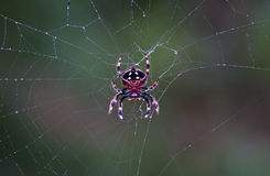 2010-01-002-Spider sur un Web de matin Images libres de droits