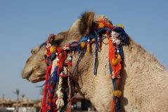2011年作埃及hurghada的骆驼 图库摄影