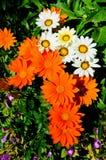 2011绽放植物群gasania皇家显示 免版税库存照片