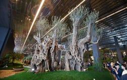 2011 olive trees för forntida euroflora kopplar samman Arkivfoto