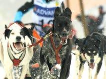 2012个狗mushers pirena雪橇 免版税库存照片