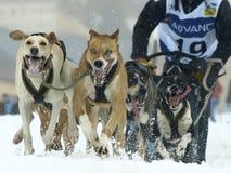 2012个狗mushers pirena雪橇 库存照片