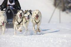 2012条狗lenk种族雪撬瑞士 免版税库存图片