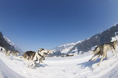 2012条狗lenk种族雪撬瑞士 免版税库存照片