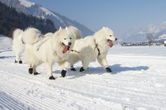 2012条狗lenk种族雪撬瑞士 免版税图库摄影