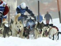 2012 сани pirena mushers собак Стоковая Фотография