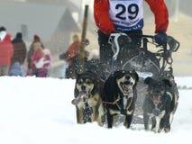 2012 psów mushers pirena sania Obrazy Stock