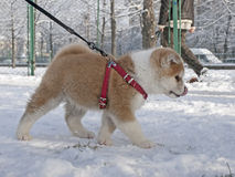 Akita Inu puppy dog. A Akita Inu puppy dong in snow Royalty Free Stock Photos