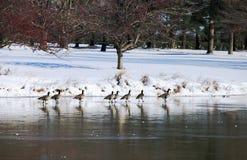 休息在池塘的加拿大鹅在东北雪风暴期间2014年 库存图片