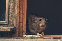 Free 2020 Year Of The Rat Stock Image - 164450521