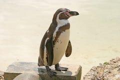 企鹅 库存图片