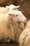 休息的绵羊 库存图片