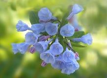 会开蓝色钟形花的草弗吉尼亚 免版税库存图片