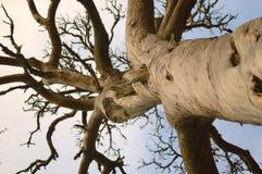 停止的杉木树干 免版税图库摄影