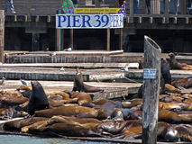 20th Anniversary of Sea Lions on Pier 39. Sea Lions lounging on piers at Pier 39 in San Francisco with sign announcing the 20th anniversary of their occupying Stock Photos