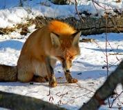 21只狐狸红色 免版税库存照片