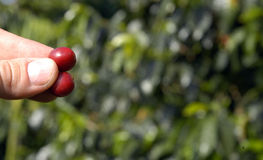 21粒豆咖啡危地马拉结构树 免版税库存图片
