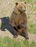 21 niedźwiadkowy brąz Zdjęcia Stock