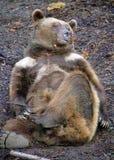 21 niedźwiedź Fotografia Stock