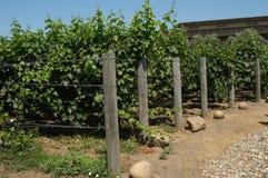 加利福尼亚葡萄园 库存照片
