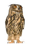 22个腹股沟淋巴肿块老鹰欧亚月猫头鹰 图库摄影