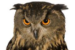 22个腹股沟淋巴肿块老鹰欧亚月猫头鹰 库存照片