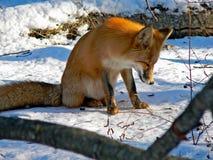 22只狐狸红色 图库摄影