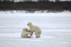 22头熊与极性战斗 免版税图库摄影