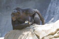 22黑猩猩 库存照片