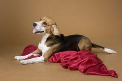 22 beagle Zdjęcie Stock
