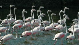 22 Flamingos. Set of flamingo walking in watter Royalty Free Stock Image