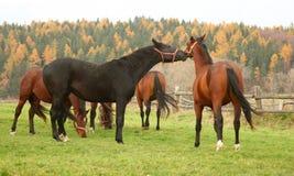 22 konia Zdjęcia Stock