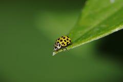 22 ladybird psyllobora punktu vigintiduopunctata Obrazy Stock