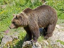 22 niedźwiadkowy brąz Obraz Royalty Free