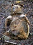 22 niedźwiedzia Zdjęcie Stock