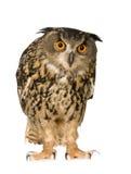 22 orła dymienica miesięcy eurasian sowa Obraz Stock