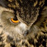 22 orła dymienica miesięcy eurasian sowa Fotografia Royalty Free
