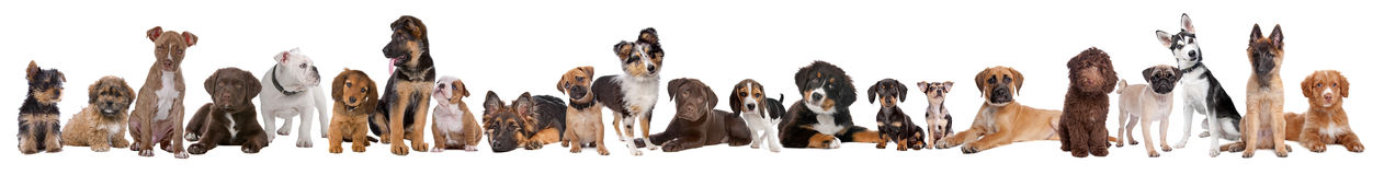 22 puppy dogs in a row. In front of a white background Royalty Free Stock Image