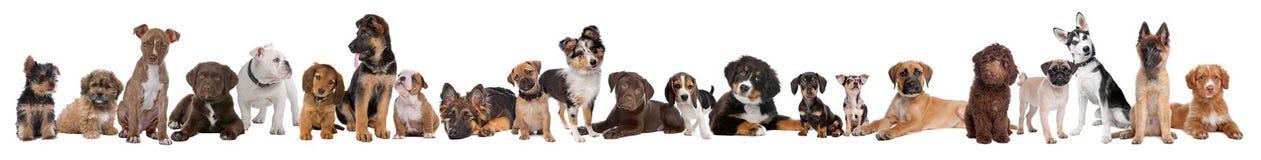 22 Welpenhunde in einer Reihe Lizenzfreies Stockbild