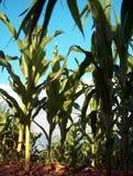 在玉米之下 免版税库存照片
