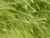 大麦域 免版税库存照片